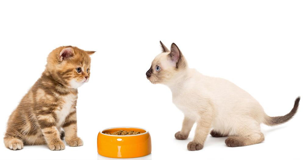 食べ 子猫 ない ご飯